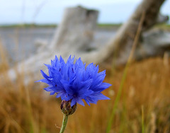 Pretty Beach Flower (shesnuckinfuts) Tags: blue flower beach nature coast driftwood pacificnorthwest cornflower naturesfinest oceanshoreswa supershot damonpoint shesnuckinfuts washingtonstateoutdoors impressedbeauty coolestphotographers