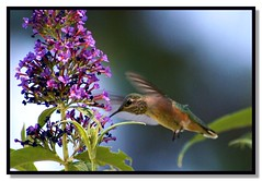 Sweet Nectar (Carplips) Tags: hummingbird purple feeding buddleia nectar butterflybush