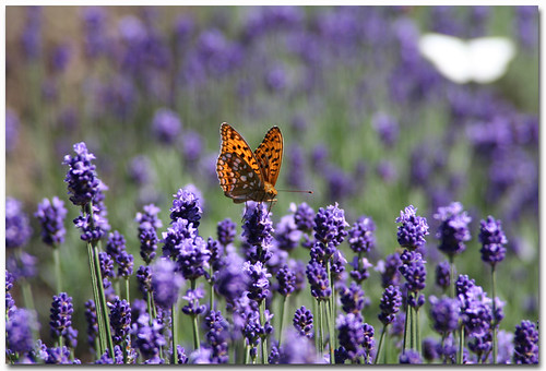 Lavender Field by B*_J