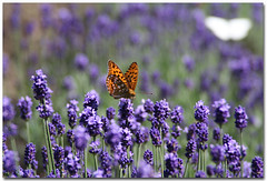 Lavender Field (B*_J) Tags: flower nature japan digital canon butterfly purple country lavender tamron gunma naturesfinest supershot diamondclassphotographer