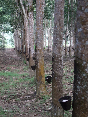 Rubber Tree Definition Meaning English Picture