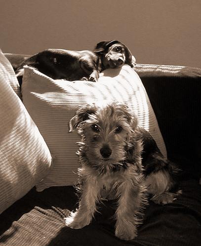 Puppy study in sepia