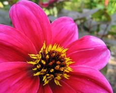 the_one (mr_sellars) Tags: pink flower macro rosa lila blume makro bochum purble