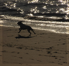 Nothing like a dog running free on the beach!.. (Lara-queen) Tags: ocean shadow dog chien sun france water animal silhouette backlight canon soleil action run ombre 2009 sparkling contrejour atlantique scintillement courir platinumheartaward platinumheartawards quynhvu canonpowershotsx10is laraqueen