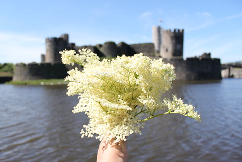 Foraging Elderflower Near Caerphilly Castle in Wales