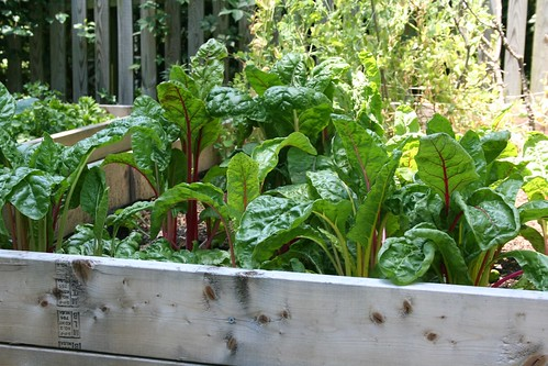 Full-grown Swiss chard