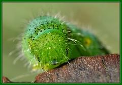 ~The Caterpillar~ (Eddie The Bugman) Tags: nottingham hairy macro green closeup lepidoptera caterpillar wollatonpark kenkoextensiontubes nikkor60mmmicro nikond90 nikonsb400 nikonsc29