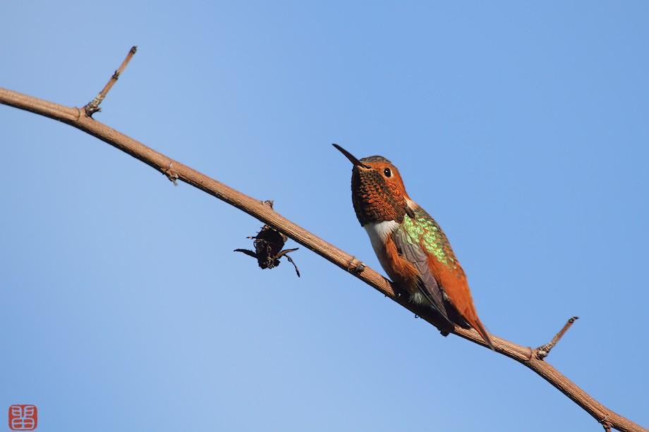 Allen's Hummingbird 110510-5