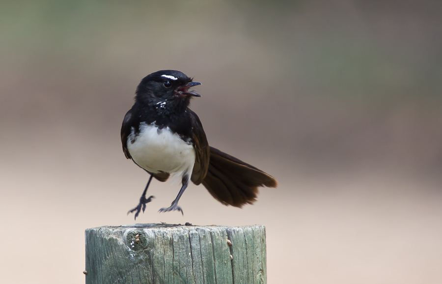 Jumping Jehosaphat - Willie Wagtail (Rhipidura leucophrys)
