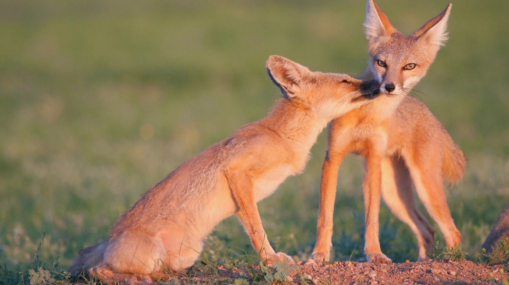 Wildlife: Kit foxes at US-Mexico wall borderlands