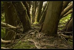 West Coast Rain Forest - Fallen Tree (janusz l) Tags: tree rain forest geotagged westcoast hudsontrail janusz supershot treesubject durbyrunchregionalpark westcoastrainforest geo:lat=49198644 geo:lon=122596693