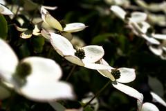 blossom in sun (habaneros) Tags: white dof blossom marco habaneros outstandingshots sonyalphadslra100