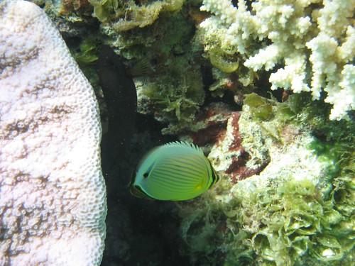 Yellow fish, Makemo