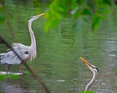 Great Blue Herons at the Charles River, Watertown. Ma (lorac's) Tags: square massachusetts mating watertown birdseyeview sasaki plummage herringrun greatblueherons charlesriverreservation birdtags bicycleview