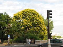 l'arbre (Lemoox) Tags: paris seine jaune safe arbre quas lesaintlouis bdhenriiv safe2007
