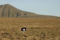 507 - Naivasha - Ostrich (FO Travel) Tags: kenya nairobi nakuru karama lewa baringo naivasha turkana gabra chalbi suguta nariokotome kalacha loyangalani logipi