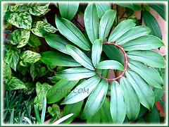 Spiral stem of Cheilocostus speciosus (Crepe Ginger, White Costus, Cane Reed, Spiral Flag) in our garden, June 25 2007