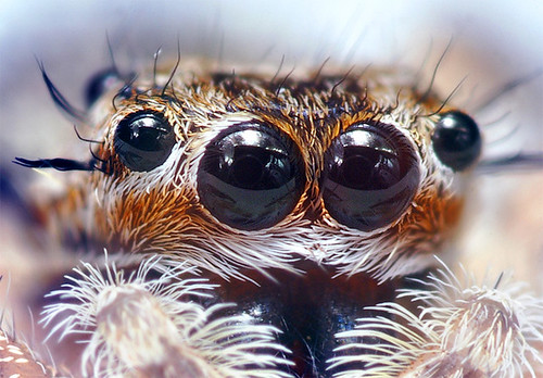 Jumping Spider Eyes at around 6:1 Magnification (Cropped) by Thomas<br /> Shahan.