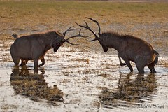 Sambar sparring in water (dickysingh) Tags: wild india nature stag outdoor wildlife deer aditya ungulate ranthambore singh ranthambhore dicky naturesfinest sambardeer specanimal specanimals cervusunicolor ranthambhorebagh borntobewildandfree sparringstagssambarsparringstagsranthambhoreranthamboretigerreserve adityasingh dickysingh ranthamborebagh theranthambhorebagh