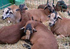 Blackbelly sheep at the fair