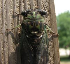 Swami's pet cicada
