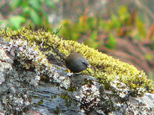 Puna Tapaculo by Charles Hesse.