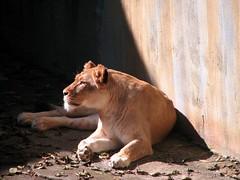 African Lion (Just chaos) Tags: africa animal animals mammal zoo lion bigcat animalia mammalia sanfranciscozoo carnivore africanlion carnivora pantheraleo felidae chordata