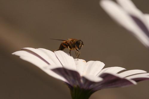 Hover Fly on Daisy 3
