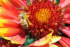 lots of bee pollen (Rareimage Photography) Tags: california usa macro nature closeup canon searchthebest superb bee pollen poe soe naturesfinest blueribbonwinner supershot abigfave anawesomeshot impressedbeauty aplusphoto diamondclassphotographer flickrdiamond rareimagephotography gailardias