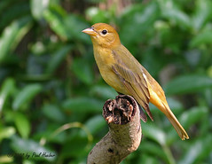 Summer Tanager female or immature male (Piranga rubra) (Paul Hueber) Tags: summer bird nature birds canon florida wildlife aves ave handheld orangecounty avian rubra tanager maitland centralflorida suta summertanager pirangarubra piranga specanimal animalkingdomelite avianexcellence musicarver maitlandcommunitypark