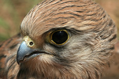 IMG_6431 (Salem_photos) Tags: detail macro bird up fly close desert hunting feather east arab falcon saudi arabia arabian middle hunt                 bedwien gettyimagesmeandafrica1