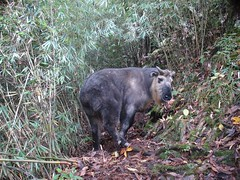 Takin (eMammal) Tags: takin wolong budorcastaxicolor taxonomy:common=takin sequence:index=1 sequence:length=1 otherhoovedmammals taxonomy:group=otherhoovedmammals siwild:study=wolongcameratrapsurvey siwild:studyId=wolongbaitedsets geo:locality=china siwild:plot=wolong siwild:location=lwwl08878a siwild:camDeploy=chinadeploy193 geo:lon=30882 geo:lat=103195 siwild:date=200810191342000 siwild:trigger=wwl08878a01023 siwild:imageid=wwl08878a01023 sequence:id=wwl08878a01023 file:name=wwl08878a01023jpg taxonomy:species=budorcastaxicolor sequence:key=1 file:path=dchinachinacameraimagedigitalafter2008wolongnaturereservewwl08878a01wwl08878a01023jpg siwild:region=china BR:batch=sla0620101119044543 siwild:species=12