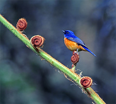 #18  Step by Step (John&Fish) Tags: fab bird nature canon bravo priceless quality topv1111 birding taiwan vivid topv trophy coolest ih cathycolors flickrtaiwan 15faves sitou supershot magicdonkey vividniltava niltavavivida flickrsbest  specanimal animalkingdomelite abigfave flickrgold cutely anawesomeshot colorphotoaward aplusphoto 200750plusfaves goldenphotographeraward bratanesque ysplix ilovemypic flickrelitegroup eliteimages colourartaward interestingness|mustbeintop10 natureselegantshots alemdagqualityonlyclub goldenvisions aboveandbeyondlevel1