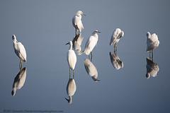 Egrets (liquidairphoto) Tags: ca usa reflection water novato egret naturesfinest cotcbestof2006 aplusphoto frhwofavs