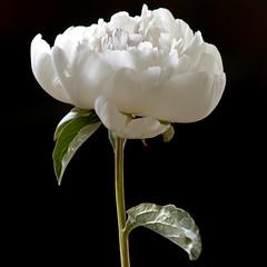 Peony (bentilden) Tags: seattle flowers usa black flower macro pentax bokeh peony washingtonstate peonies istdl