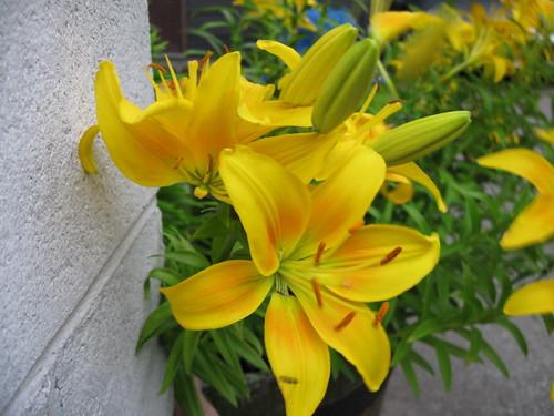 Ute's Lillies 3
