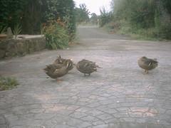 ducksBeingCoolNearCats (jzzedgar) Tags: la 0707 cervelle