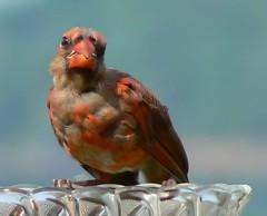 Ain't she sweet.... (Lollie Dot Com) Tags: bird cardinal aintshesweet juvenilecardinal lolliedotcompix youngcardinal p1290398nnccrop