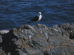 GAVIOTA (Yetinis) Tags: chile sea bird rock mar agua ave narcisismo gaviota narciso viadelmar wull