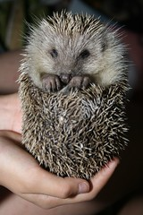 Hand holding hedgehog (DigiPub) Tags: cute sweet sold explore hedgehog onsale gettyimages ハリネズミ xsize 刺猬 蝟 sale201311