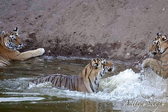 Play fighting tigers (dickysingh) Tags: wild india nature outdoor wildlife bigcat aditya tigers predator ranthambore singh artphoto ranthambhore dicky wildtiger bengaltigers kuwaitphoto ranthambhorebagh kuwaitartphoto adityasingh dickysingh ranthamborebagh kuwaitart tigerfight theranthambhorebagh