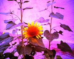 Sunflower عبّاد الشمس