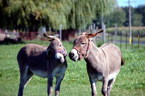 Donkey Fight!