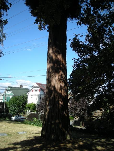 100107_cedar_tree_476x635
