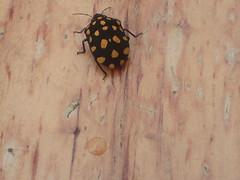 Pachycoris torridus (Scutelleridae) (jarbas mattos) Tags: scutelleridae