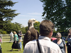 Bald eagle (marios_h) Tags: eagle wildlife baldeagle conservation owl falcon vulture nationaltrust haliaeetusleucocephalus barnowl birdsofprey falconry caracara hanbury eagleowl hanburyhall trevorhill