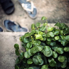 (*YIP*) Tags: people plant 120 6x6 film nature rock mediumformat garden square outdoors photography leaf day kodak no steps flipflop growth staircase walkway simplicity malaysia pro contrasts pathway textured kiev60 iso160 epsonv500 yipchoonhong