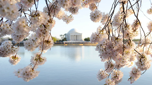 blossoms_jefferson