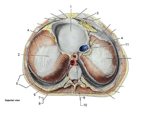 diaphragm quiz