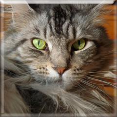 Floris. (Cajaflez) Tags: pet cute cat eyes kat chat longhair mainecoon katze ogen gatto huisdier kater floris lepetitprince topshots cc300 natureselegantshots 100commentgroup saariysqualitypictures imagesforthelittleprince virgiliocompany